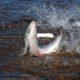 Пустите лосося в центр Магадана!