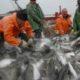 Наука помогла сертифицировать промысел минтая в Охотском море