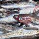 Ученые оценили промысловый запас Охотского моря